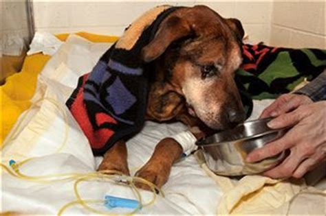 canine liver disease picture 18