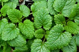 mint leaves for high blood pressure picture 9