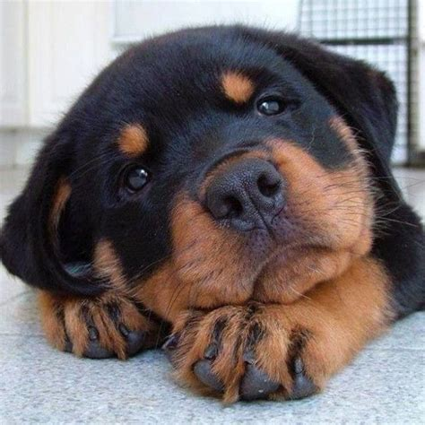 aging rotweiler picture 2