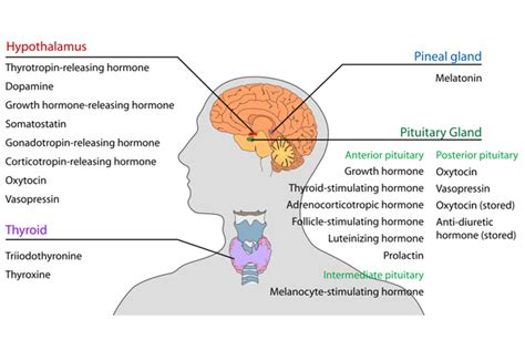 functions of thyroid gland picture 22