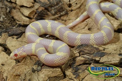 aging your king snake picture 5