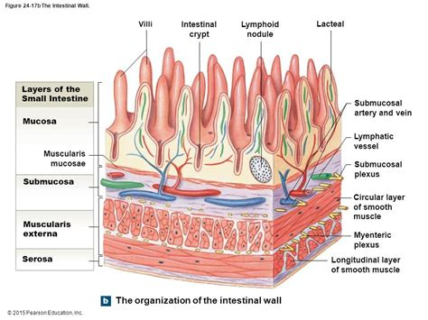 small intestinal wall picture 6
