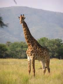 average length of a giraffe penis picture 2