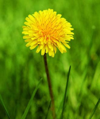 dandelion root effect on men picture 7