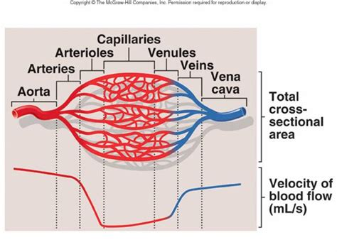 blood vessel circulation picture 2