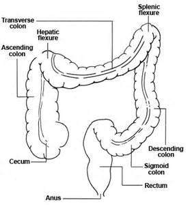 diagram descending colon picture 2