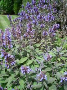 english, herbal plant picture 14