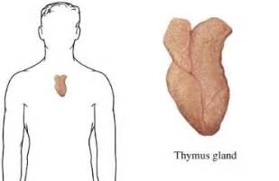 thymus picture 2