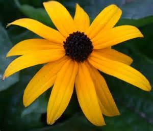 echinacea plant picture 11