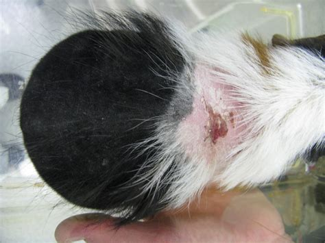 skin condition in lactating guinea pig picture 3