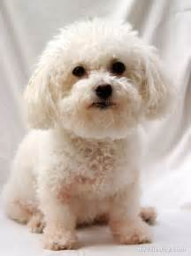 bichons and skin problems picture 6