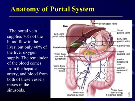 anatomy and physiology of blood circulation picture 6