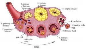 bovine ovary studies in men picture 2
