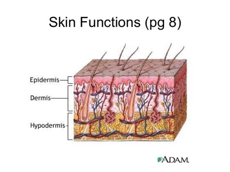 functions of the skin picture 15