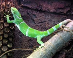 complete iguana diet picture 1