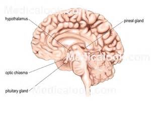 pituitary body picture 2