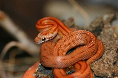 corn snake teeth picture 3