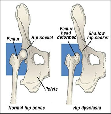 canine hip joint photos picture 14