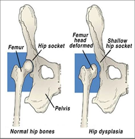 canine hip joint photos picture 17