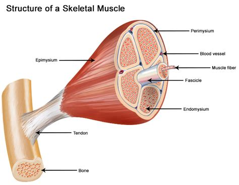 cancer of the muscle picture 15