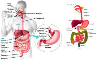 digestion diagram picture 6