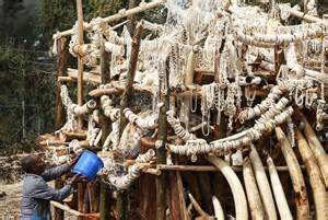 the price of elephant tusks in indochina in picture 9