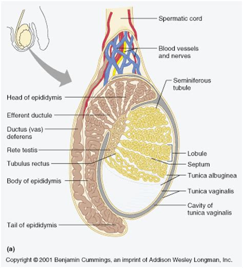 testosterone is produced within the testes by the picture 6