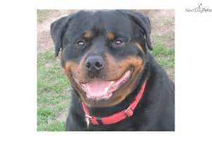 rottweiller aging picture 21
