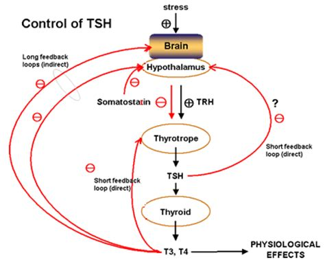 what is tsh thyroid stimulating hormone picture 11