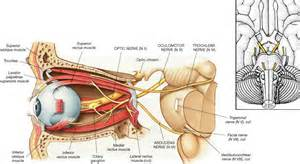 ciliary muscle and trigeminal pain picture 2