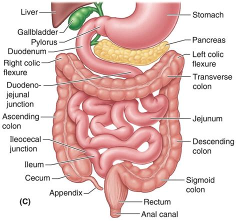 elimination system digestive picture 6