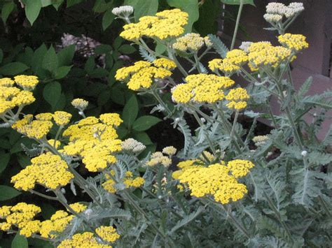 yarrow care picture 1