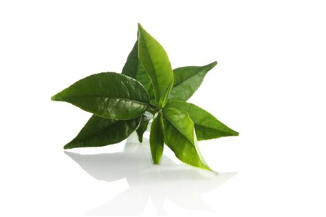 can i miss green tea with herbex tea picture 3