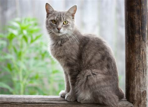 crusty skin condition in cats picture 9