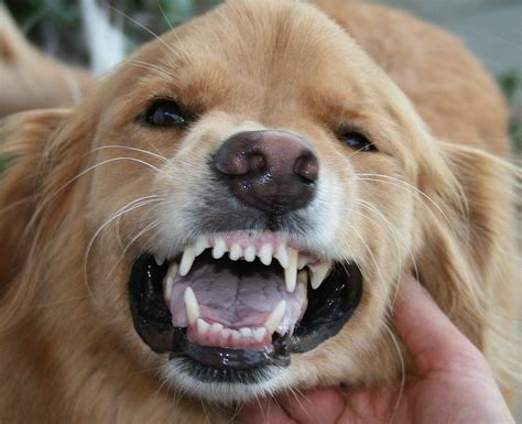dogs teeth picture 6