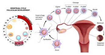 menstrual cycle simulator for men picture 11