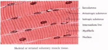 human muscle tissue picture 7