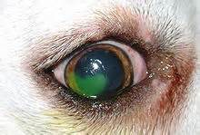 canine bleeding skin ulceration picture 7