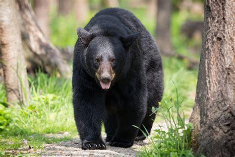 adirondack black bear sleep habits in spring picture 3