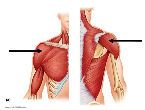 deltoid muscle picture 3