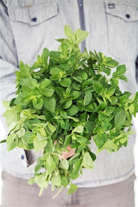 herbs that kill ecoli picture 11