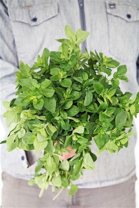 herbs that kill e coli picture 9