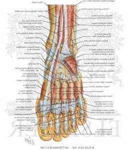 anatomy picture 9
