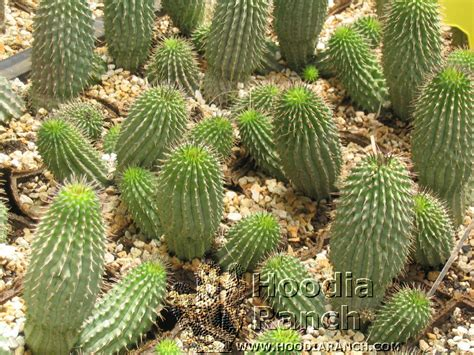 can children take hoodia picture 1