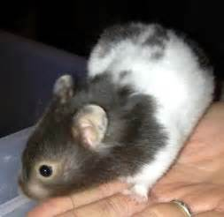short hair hamsters picture 2