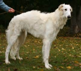 borzoi and short hair picture 1