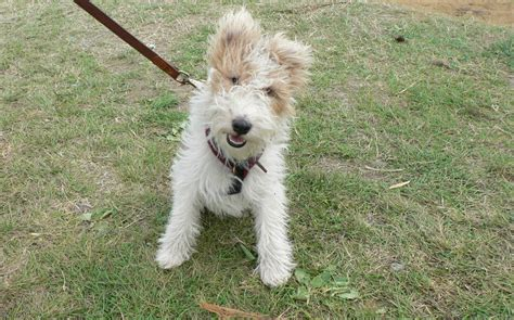 wire hair fox terrier picture 5