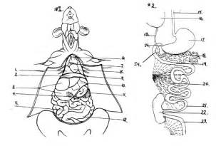 compare and contrast rat gastrointestinal system picture 3