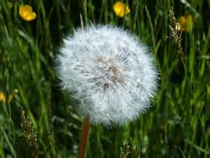 dandelion facts picture 18