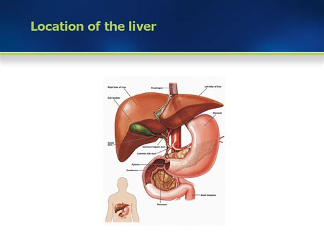 anatomical location of the liver picture 1